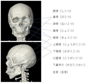 顔面骨の画像です。